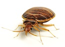 Bed Bugs are our Pest of the Month